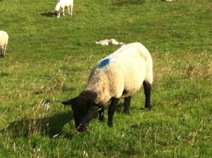 cotswold black face sheep